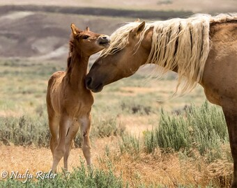 Corona Wild Stallion of Sand Wash Basin with Tucker a Young Colt, Wild Horse Photography, wild horses, palomino wild mustang, wild stallion