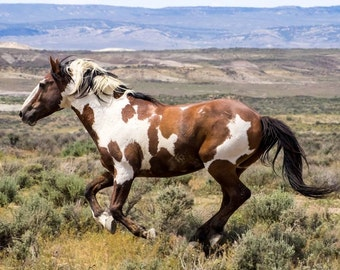 Picasso Running Free as the Wind! - 5x7 Mini Canvas Print with Easel - Wild Stallion of Sand Wash Basin, wild horses of northwest Colorado