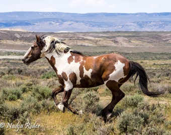 Picasso Wild Mustang Stallion of Sand Wash Basin, Wild Horse Photography, sand wash basin wild horses, pinto wild mustang, wild stallion