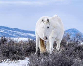 Wild Mare Mystic of Sand Wash Basin, Wild Horse Photography, white mustang, wild white horse, white mare, winter, snow, cold