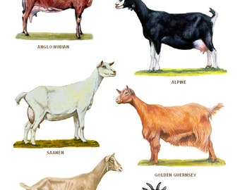 A4 Laminated Posters. Breeds of Goats
