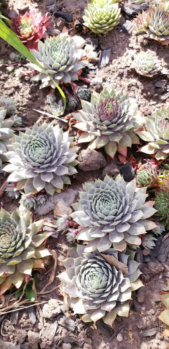 Sempervivum   Pacific blue hardy plant peak colors in spring turning to purple.3.5 pot