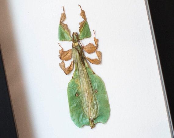 Phyllium bioculatum pulchrifolium
