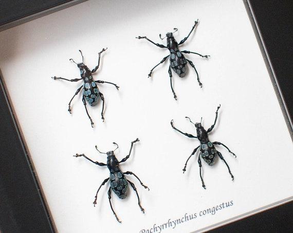 Pachyrrhynchus congestus