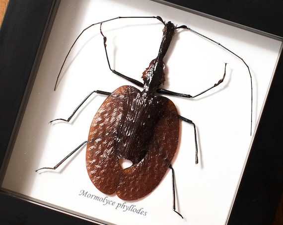 Mormolyce phyllodes, le violoniste
