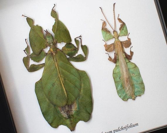 Couple Phyllium bioculatum