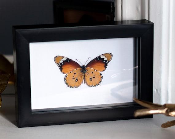 Framed monarch butterfly, Danaus chrysippus