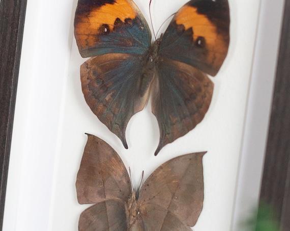 Kallima inachus chinensis