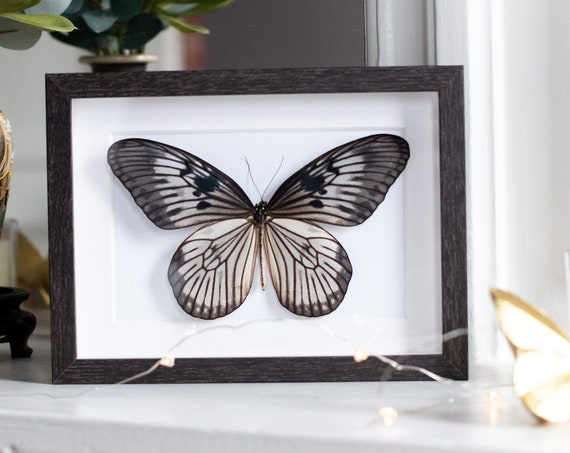 Framed butterfly, Idea blanchardi