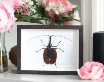 Framed violin beetle, Mormolyce phyllodes