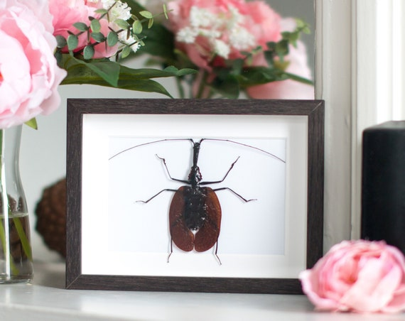 Framed violin beetle Mormolyce phyllodes