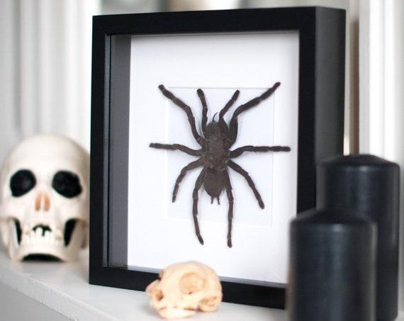 Framed tarantula, Haplopelma minax