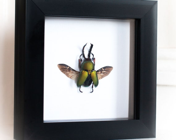 Framed stag beetle, Lamprima adolphinae