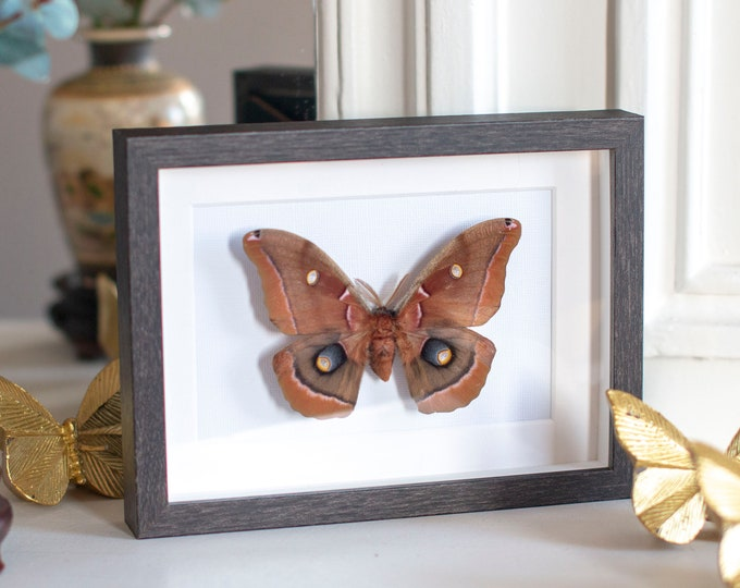 Featured listing image: Framed giant silk moth, Antheraea polyphemus