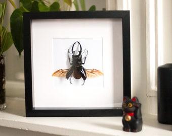 Framed beetle, Odontolabis dalmanni intermedia