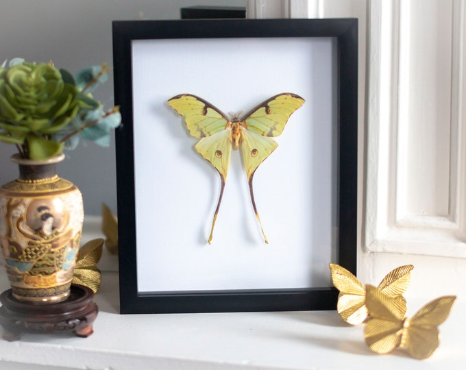 Featured listing image: Framed african moon moth, Argema mimosae