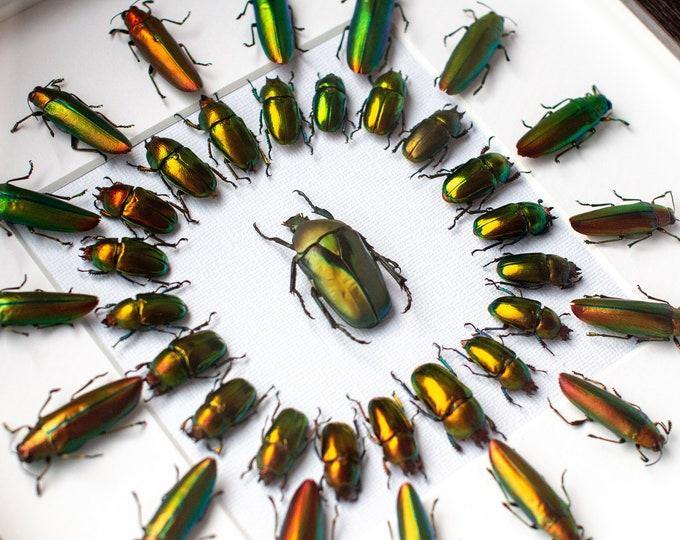 Featured listing image: Framed beetles, Lamprima + Rhomborrhina + Chrysocroa