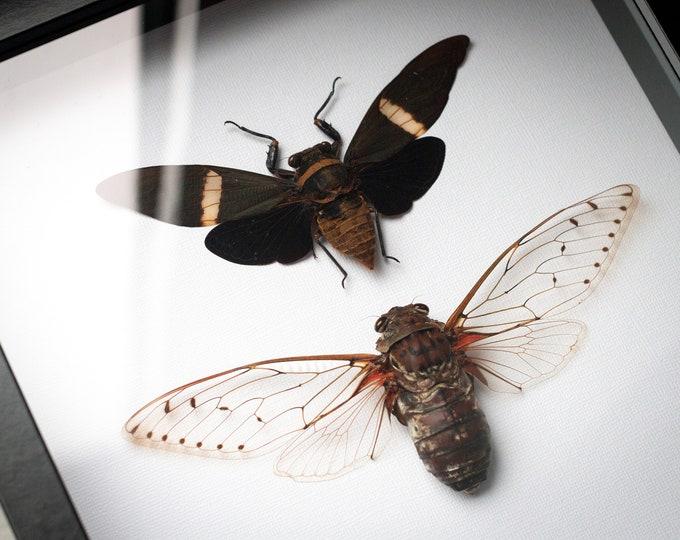 Featured listing image: Framed cicadas, biggest in the world Megapomponia imperatoria + Tosena albata