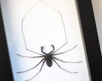 Framed whip spider, Acanthophrynus coronatus