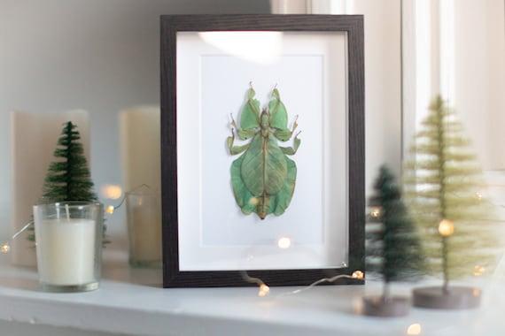 Framed leaf insect, Phyllium bioculatum pulchrifolium