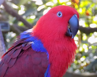 Digital jpg photo of red female eclectus parrot