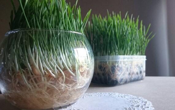 Soilless Pet Grass Kit Easy Grow No Mess Fresh Healthy Rabbit Guinea Pig Cat Treat