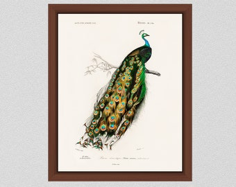 Vintage Peacock Print 1846 Peacock Illustration Victorian Bird Art Illustration Edouard Travies Peacock Art Print, Ornithology Art