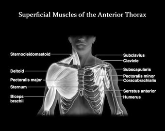 Muscles of the Chest - Muscles of the Anterior Thorax - Art Print - Poster - Medical -  Doctors Office - Teaching Hospital - Anatomy Art