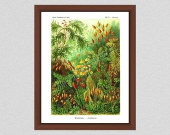 Ernst Haeckel Mosses Print, Polytrichum Art Print, Ernst Haeckel Art Forms in Nature, Botanical Poster, Haeckel Kunstformen der Natur