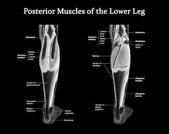 Muscles of the Lower Leg Posterior View - Art Print - Poster - Medical Office - Teaching Hospital - Anatomy Art - Med Student Art