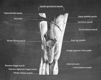 Muscles of the Knee - Art Print - Poster - Medical -  Doctors Office - Teaching Hospital - Anatomy Wall Art