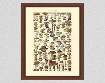 Vintage Mushroom Illustration Art Print #1, Art by Millot, Mushroom Poster, Mushroom Art, 19th Century Larousse Champignons Giclee Print