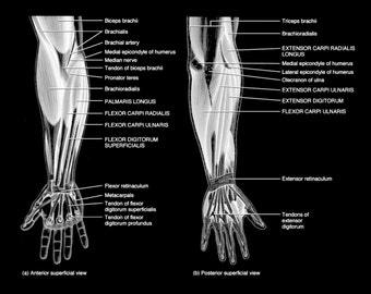 Muscles and Tendons of the Arm - Art Print - Poster - Medical -  Doctors Office - Teaching Hospital - Anatomy Wall Art