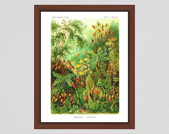 Moss Print Ernst Haeckel, Polytrichum Art Print Ernst Haeckel Art Forms in Nature Muscinae Botanical Poster, Moss Poster