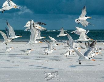 Flock of Seagulls at Siesta Key, FL