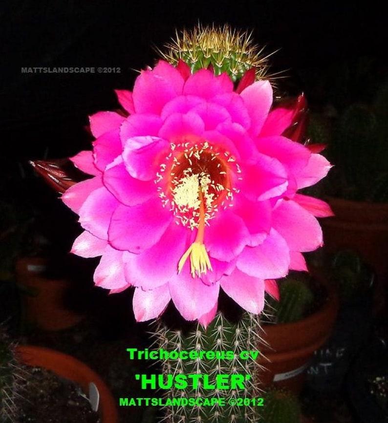 Cactus,Echinopsis,No,Lobivia Trichocereus,Hybrid,/'HUSTLER/',LARGE PLANT