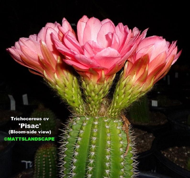 Multi-PLANTS In 1 Offer #3 Trichocereus,Hybrid,/'PISAC/',HUGE 15 Gallon pot full !! ***Has Buds Now***,Cactus,Echinopsis,No,Lobivia