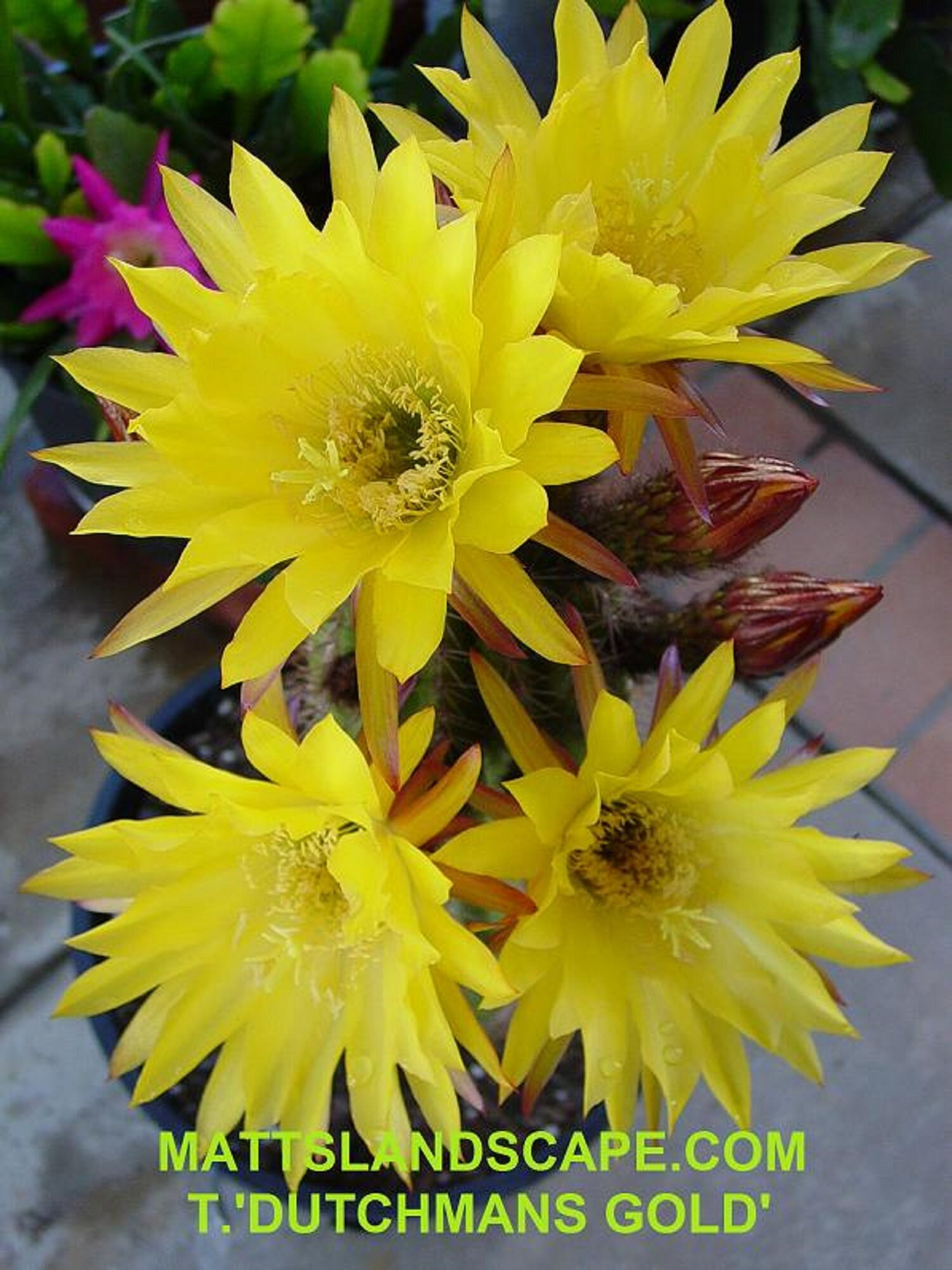 Trichocereus, Trichocereus, Trichocereus, hybride, «DUTCHMANS GOLD», plantes, Cactus, Blooming taille, Echinposis, Lobivia 3662e5