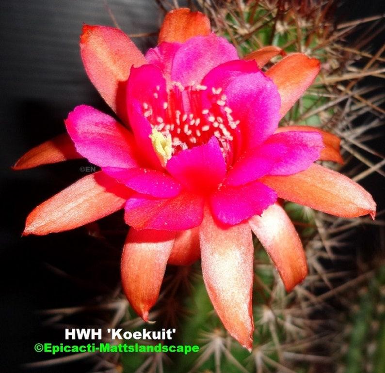 Small PLANT,**,Cleistocactus,Cactus,Echinopsis Hildewintera,hybrid,/'KOEKUIT/',**NEW***