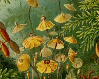 Botanical Print, Moss Print, Moss Forest, Forest Moss, Forest Print, Botanical Forest, Print Moss, Print Forest, Print Botanical, Haeckel