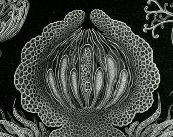 Scientific Illustration, Scientific Art, Art Scientific, Fungus Illustration, Fungus Art, Illustration Scientific, Illustration Art, Haeckel