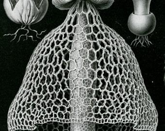 Stinkhorn Mushroom, Mushroom Stinkhorn, Scientific Art, Art Scientific, Scientific Mushroom, Mushroom Art, Art Mushroom, Ernst Haeckel