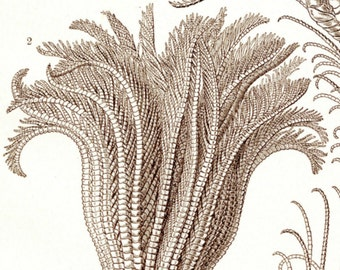Sea Lilies, Scientific Art, Art Scientific, Lilies Art, Sea Art, Art Lilies, Art Sea, Ernst Haeckel, Haeckel Ernst, Scientific Illustration
