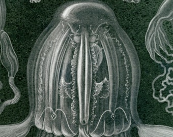 Box Jellyfish, Poisonous Jellyfish, Jellyfish Poisonous, Medusa Box, Jellyfish Box, Medusa Jellyfish, Box Medusa, Jellyfish Medusa, Haeckel