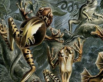 Science Poster, Frogs Poster, Frogs Science, Frogs Salamanders, Science Frogs, Poster Science, Ernst Haeckel Art, Haeckel Ernst, Frog Art
