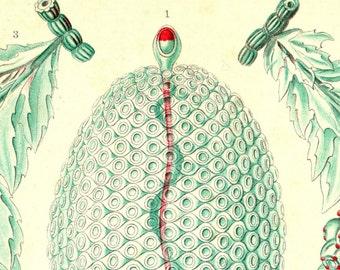 Ernst Haeckel, Medusa Jellyfish, Jellyfish Medusa, Ernst Haeckel Jellyfish, Haeckel Ernst, Haeckel Jellyfish, Jellyfish Ernst Haeckel, Jelly