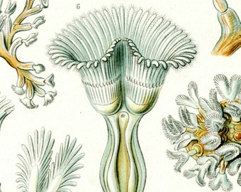 Ernst Haeckel Aquatic Animals Fine Art Print from Kuntsformen der Natur, Plate 23 Bryozoa, Tafel 23 Cristadella Scientific Illustration Art