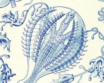 Comb Jellies, Ernst Haeckel, Jellies Art, Haeckel Ernst, Haeckel Art, Haeckel Comb Jellies Illustration, Jellies Comb, Art Haeckel, Jellies