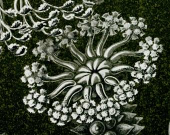 Sea Cucumber, Ernst Haeckel, Cucumber Sea, Haeckel Ernst, Scientific Art, Art Scientific, Sea Art, Sea Cucumber Drawing, Scientific Drawing
