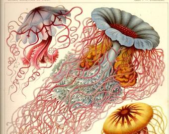 Jellyfish Drawing, Scientific Illustration, Jellyfish Scientific Illustration, Jellyfish Illustration, Scientific Drawing, Jellyfish, Print